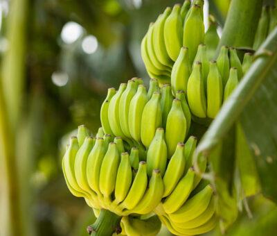Creció exportación de banano desde Colombia hacia Asia y África